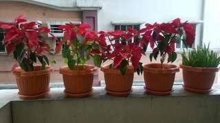 Poinsettia house plants christmas flower decoration
