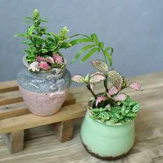小盆栽 粉紅安妮網紋草 室內植物 連盆 耐陰 易種 14cm(H) indoor plants