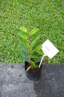 Durian plant