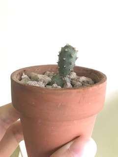 Tephro Articulatus cactus