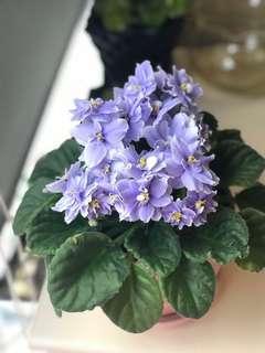 非洲紫蘿蘭(花苗/葉)