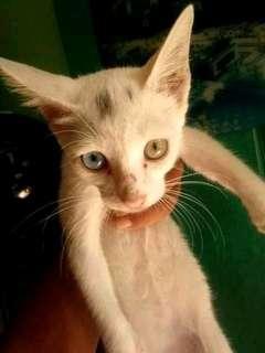 Kucing persia odd eye