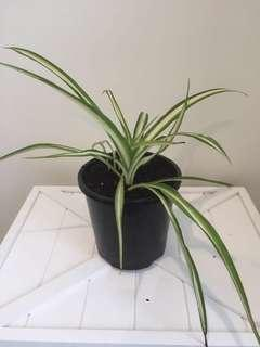INDOOR PLANT! spider plant