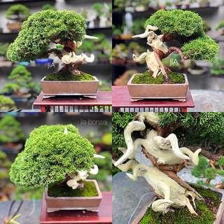 Japanese Shohin Shimpaku Bonsai