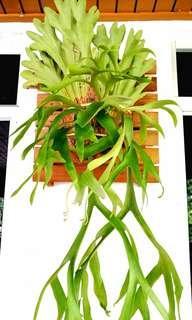 Staghorn fern/Pokok Tanduk Rusa