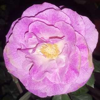 Purple Rose Giant Breed With GIANT Flowers