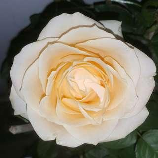 Champagne Rose Giant Breed With GIANT Flower