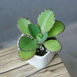 HOLD) 迷你蕾絲公主 連盆 新手多肉 植物  (Mother of Thousands) Succulent plant potted 盆栽