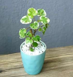 迷你白雪福祿桐 小盆栽 indoor plants 連盆20cm(H) bonsai 室內室外