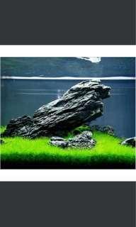 Dwarf hair grass carpeting plant aquarium hair grass Japanese