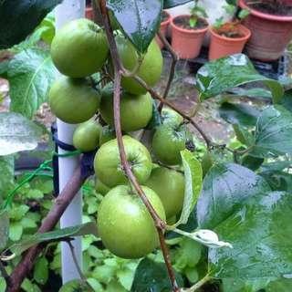 Bidara With Apple Size Fruits