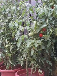 Cherry Tomatoes Tree Replenishing 0002