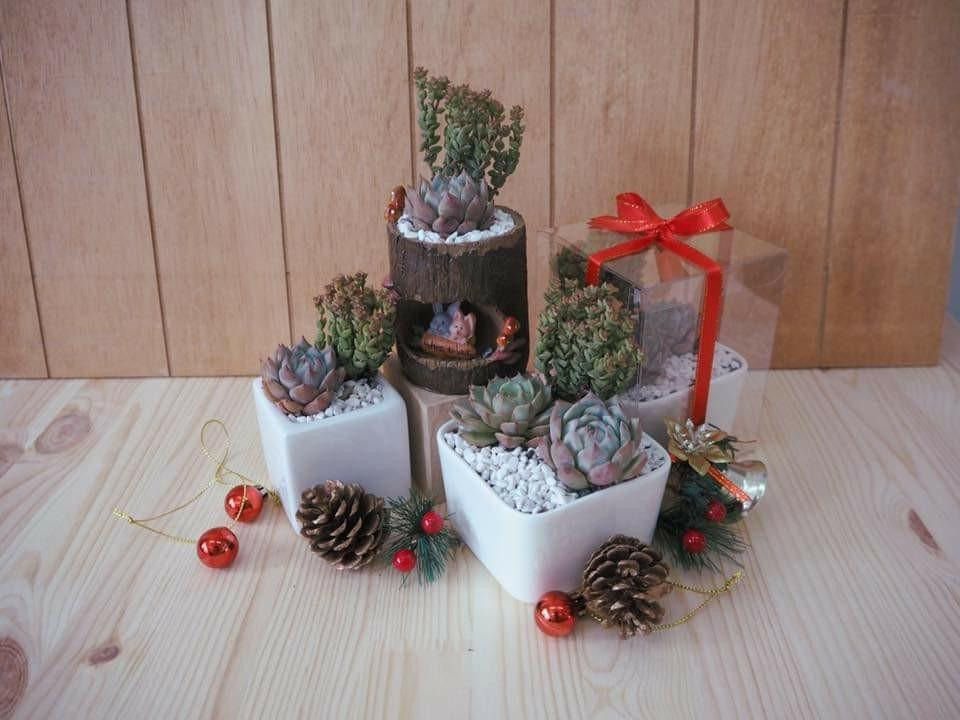 Christmas Succulent Gift.Succulents Christmas Gift Gardening Plants On Carousell