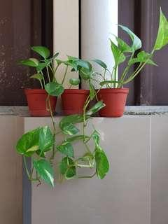 Money Plant (set of 3 pots)