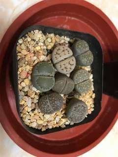 生石花(上水交收)