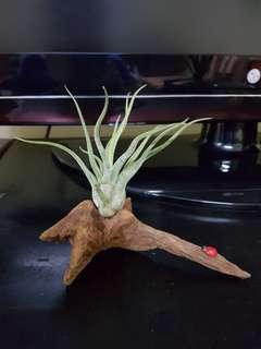 Air Plant, best gift