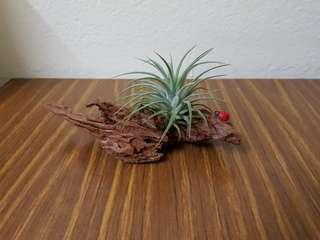 Desktop plant, in door plant.