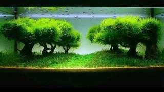 Java Moss Aquatic Plant/Moss