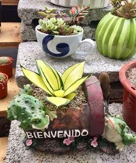 Medium size imported succulents with pot included