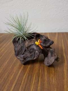 Plant on drift wood for gift