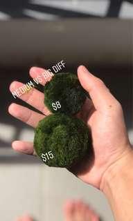 Large Moss Ball Aquatic Plant