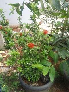 Aneka tanaman dan pot.. Bunga dan pohon jeruk limau dan pohon jambu air