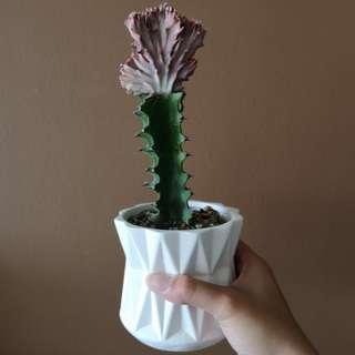 Euphorbia Lactea Cristata Variegata