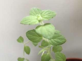 Thai Black Mint cuttings