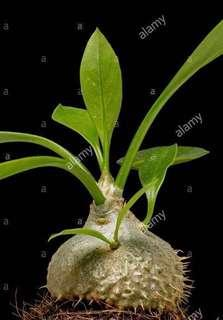🚚 Australian Ant Plant 🐜 Hydnophytum (Myrmecodia beccarii)