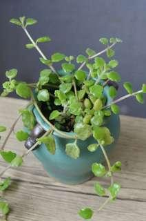 蔓藤多肉 臥地延命草 植物 連盆13cm(H) Succulent plants 盆栽
