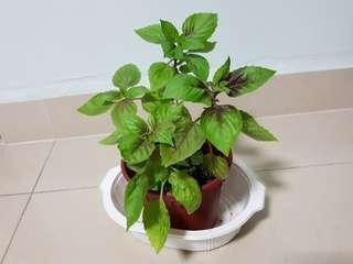 Purple basil plant