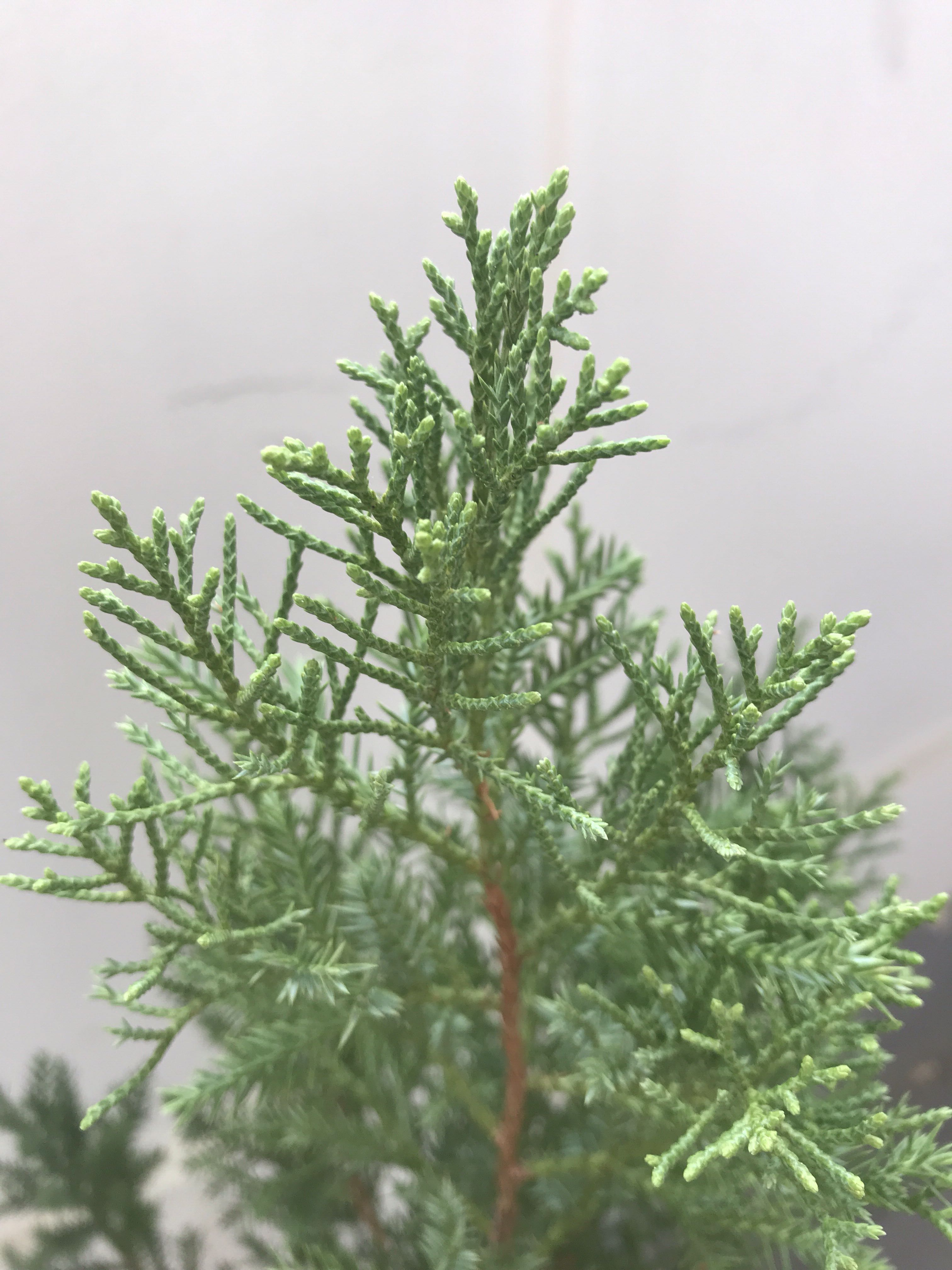 Live Xmas Pine Tree For Cheap Sale Gardening Plants On Carousell