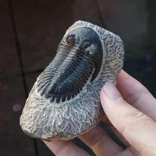 Hollardops Trilobite Fossil from Morocco