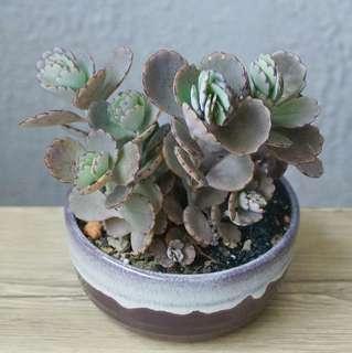 紫色多肉 多株老樁 蝴蝶之舞 特殊多肉 盆栽 落地生根 耐乾 Rare Miracle leaf Succulent plant 連盆