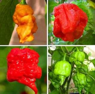 Chilly Hot Peter Pepper Plant Seeds