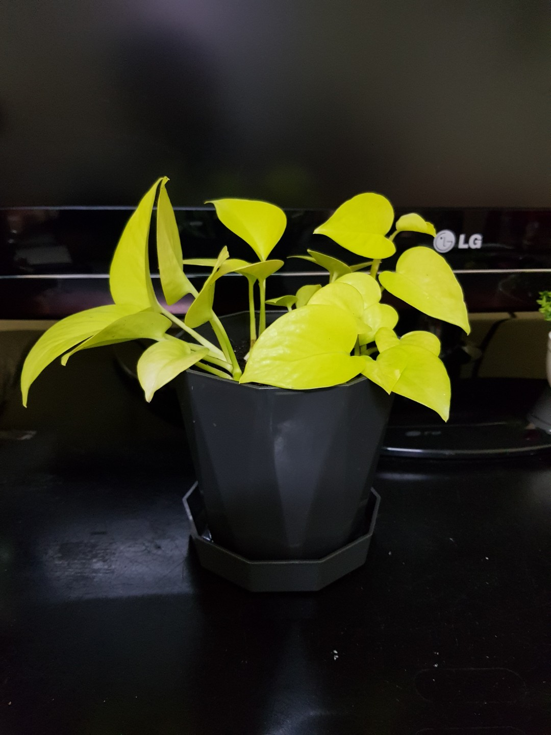 Neon Money Plant Indoor Desktop Xmas Gift Birthday