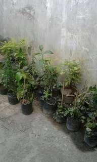 Menjual berbagai macam Tanaman Obat Herbal
