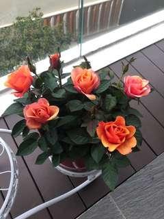 Very beautiful Rose plant