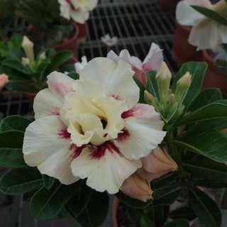 Taiwan Adenium New Released 台湾富贵花最新花色