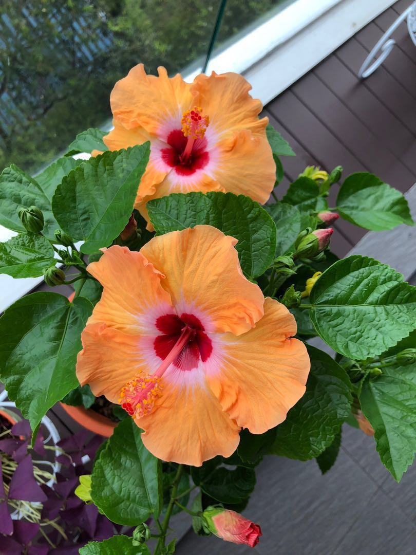 Hibiscus Flower Plant Beautiful Many Buds Gardening Plants On