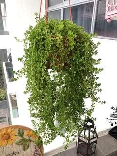 Hanging plant Baby's tears plant