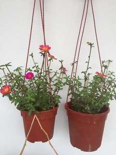 Beautiful flowering plants三色花