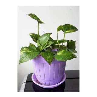 Offer -Air Purifier Plants