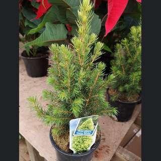 Mini Spruce Tree for Christmas (Picea glauca 'Daisy White')