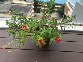 Last piece Japanese rose