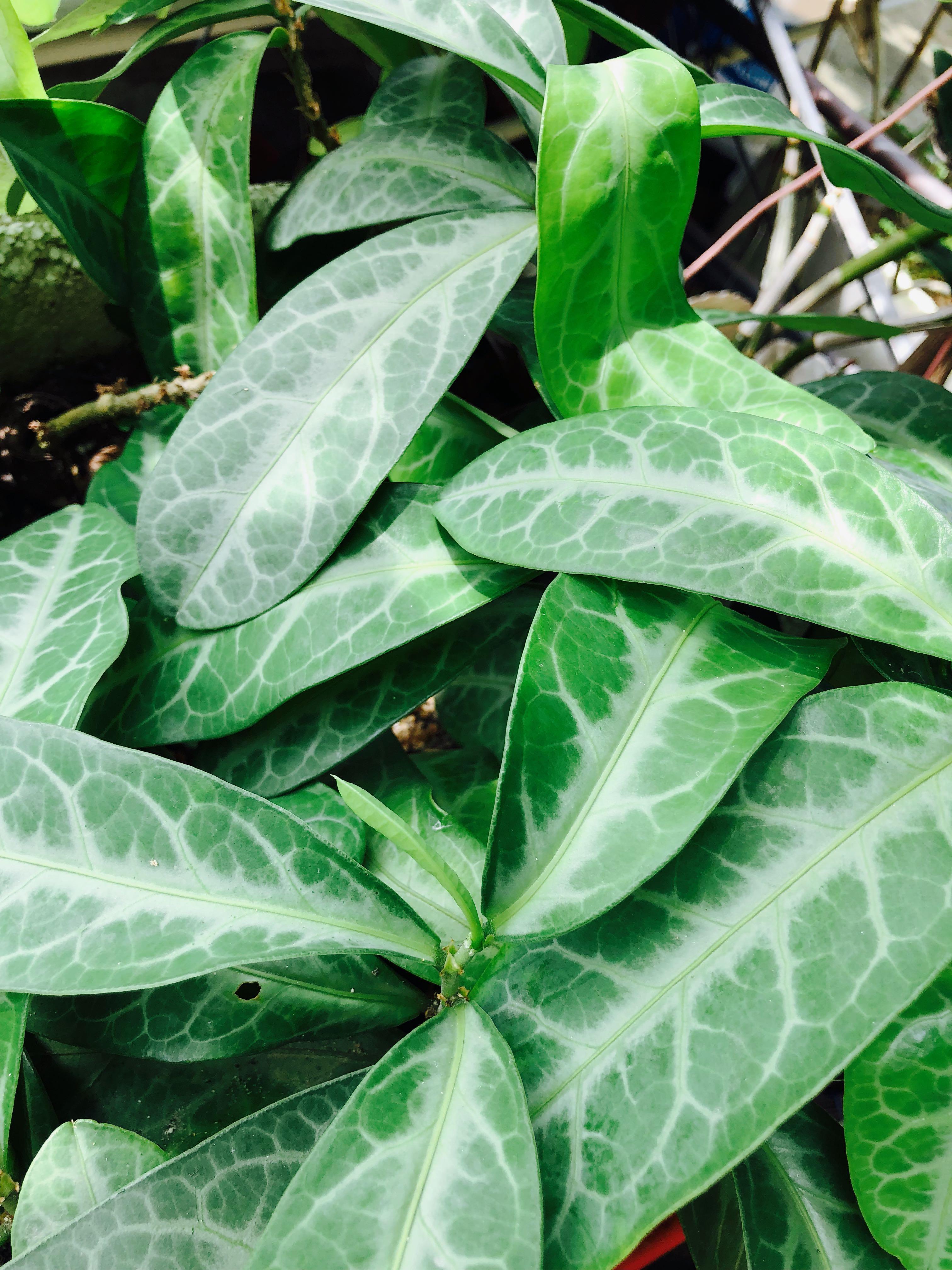 Plant 🌱 新鮮龍脷葉 龍利葉 有機種植 煲湯 植物 Sauropi Folium chinese medicine 化痰止咳 清熱潤肺