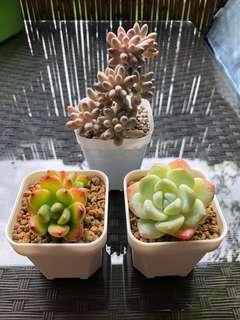 Korea imported succulents