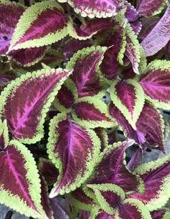 Coleus large plant