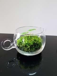 Wabi Kusa, Indoor Plants, Office Plants, Aquatic , Gift, Terrarium, Hydroponics , Moss Ball