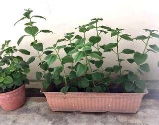 ☘️Fresh Cuttings of Indian Borage Mexican Mint plant ☘️